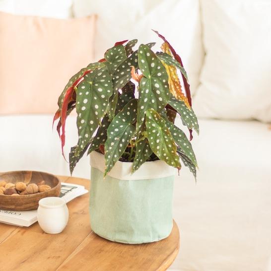 Max - Begonia maculata und sein hellgrüner Übertopf