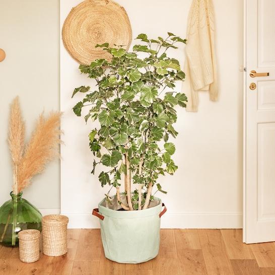 Polly - Polyscias balfouriana with pot