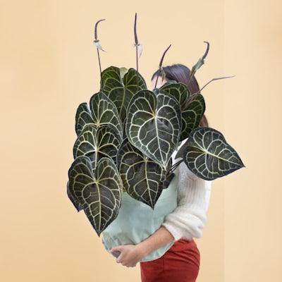 Anthurium clarinervium XXL
