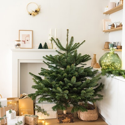 Christmas tree - Nordmann fir
