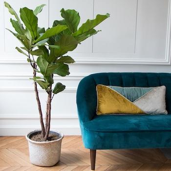 Antigua Ficus Lyrata