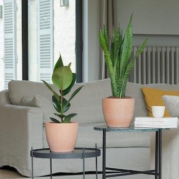 Léonie - Ficus & Sansevieria avec cache-pots en terre cuite