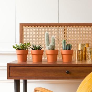 Ernesto - Cactus avec cache-pots