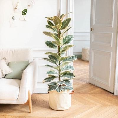 June - Ficus 'Tineke' et son cache-pot jaune
