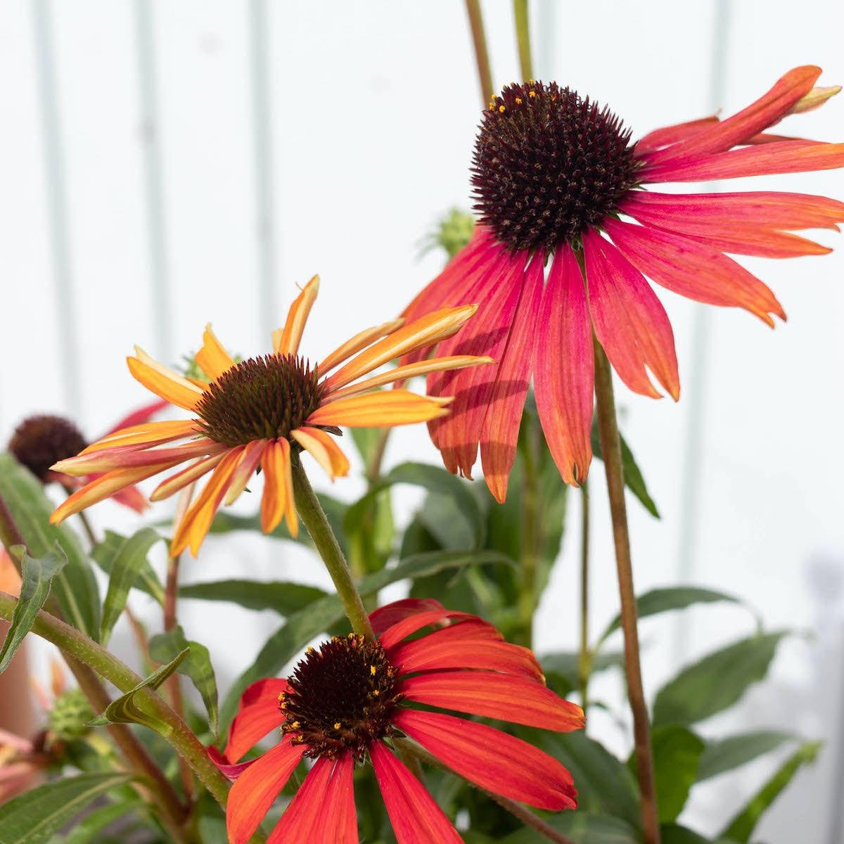 Zoom sur la floraison d'Aurore - Echinacée