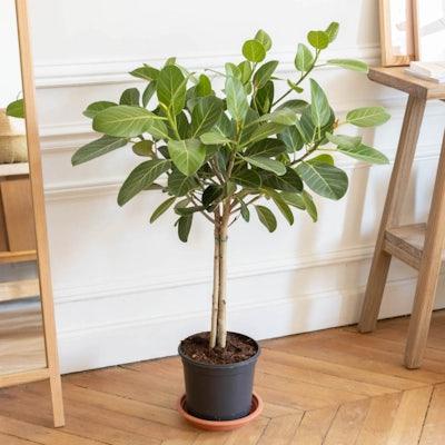 Astrid sans cache-pot - Ficus 'Audrey'