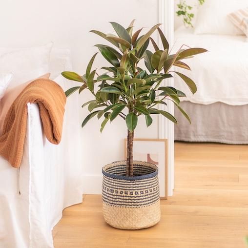 Panier tressé motifs bleus avec Marta le Ficus 'Melany'