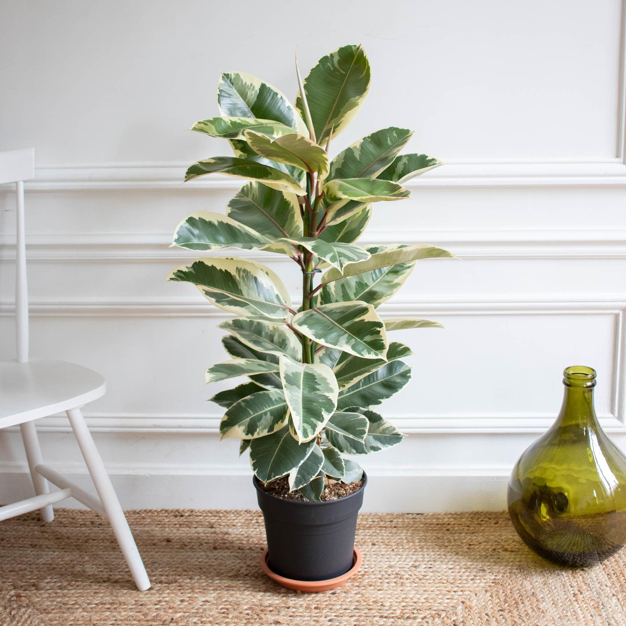 Albert sans cache-pot - Ficus 'Tineke'