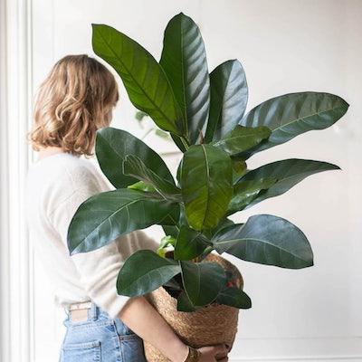 """Jonas - Ficus 'Roy' (vendu seul ou avec un cache-pot """"panier"""")"""