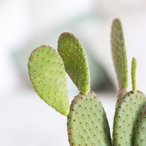 Zoom sur Opuntia