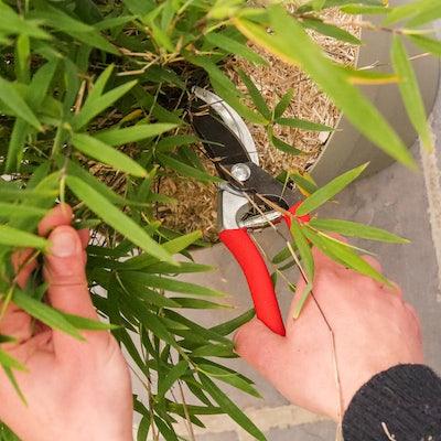 planter-bambou