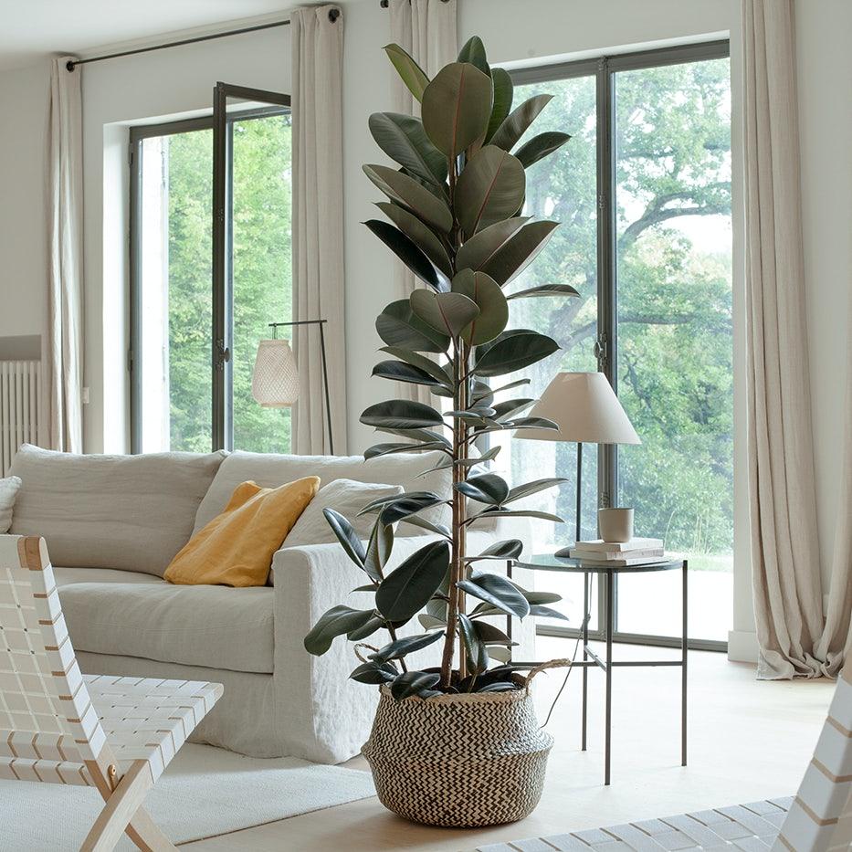 plante verte Ficus elastica salon décoration