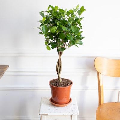 Molly sans cache-pot - Ficus 'Moclame'