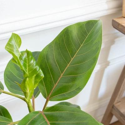 Die wunderschönen Blätter unseres Ficus altissima