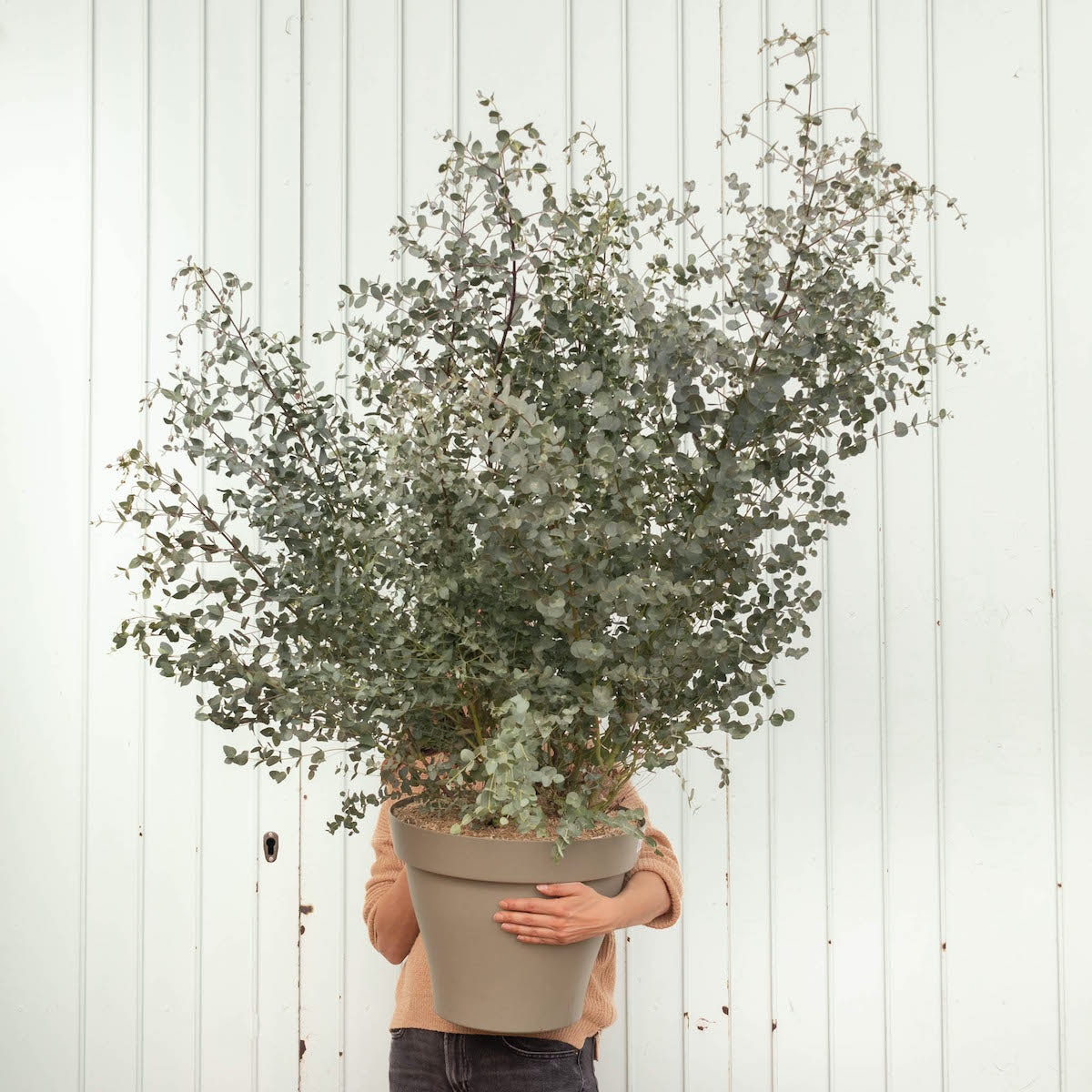 Rodrigo et son pot vert - Eucalyptus