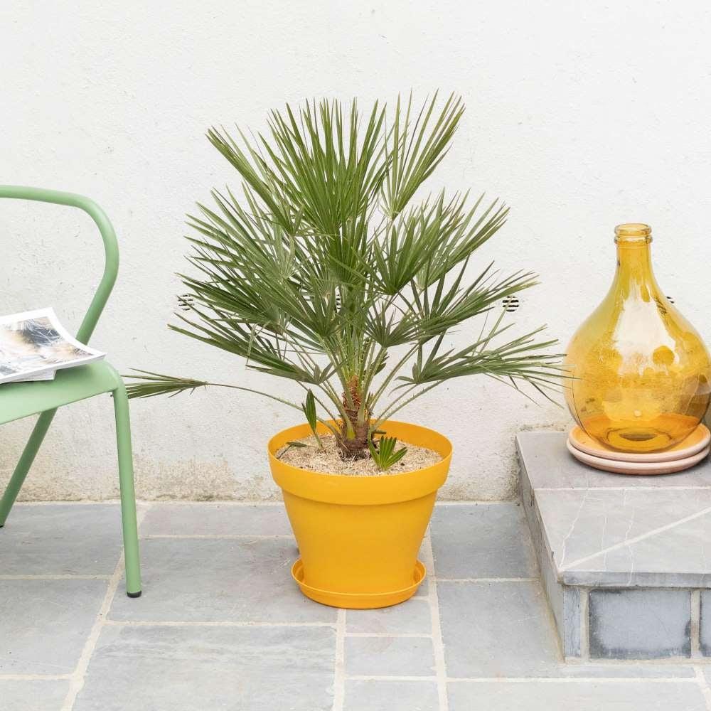 palmier-chamaerops-entretien