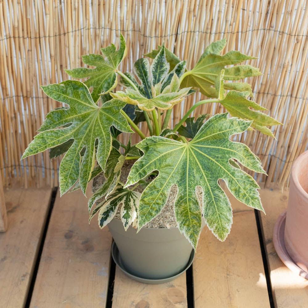 Gonzague et son pot vert - Fatsia japonica