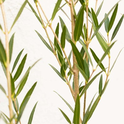 Nahaufnahme auf Fanny - Phillyrea angustifolia
