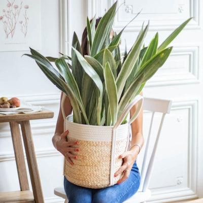 Mary et son cache-pot - Sansevieria metallica