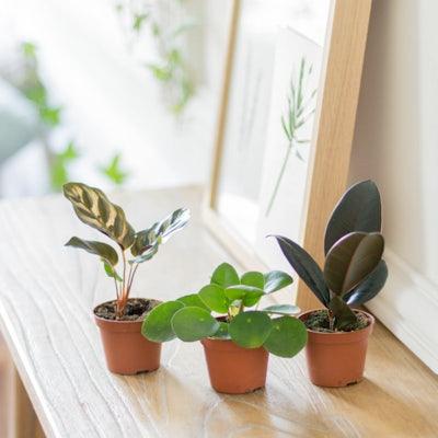 """Unser Pflanzen-Set """"Willy"""" ohne Übertopf"""