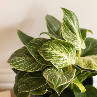 Olivia - Zoom auf Philodendron