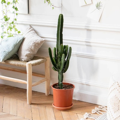 Pablo - Euphorbia acrurensis sans cache-pot