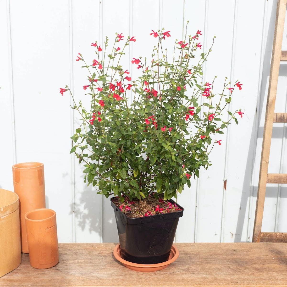 Solange seule - Sauge arbustive
