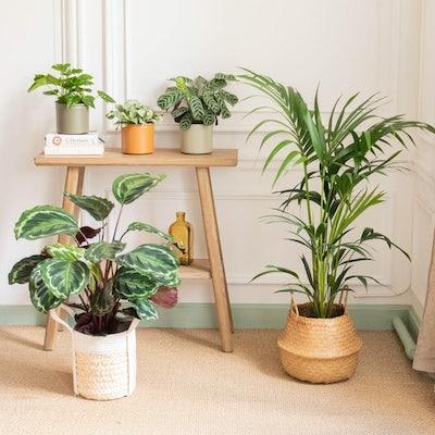 """Assortiment de plantes """"Pet Friendly"""" et leurs cache-pots"""