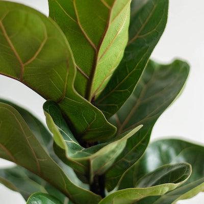 Louisa - Zoom sur Ficus lyrata 'Bambino'