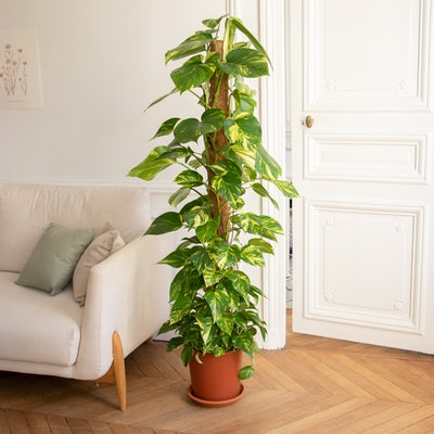 Colin sans cache-pot - Epipremnum pinnatum