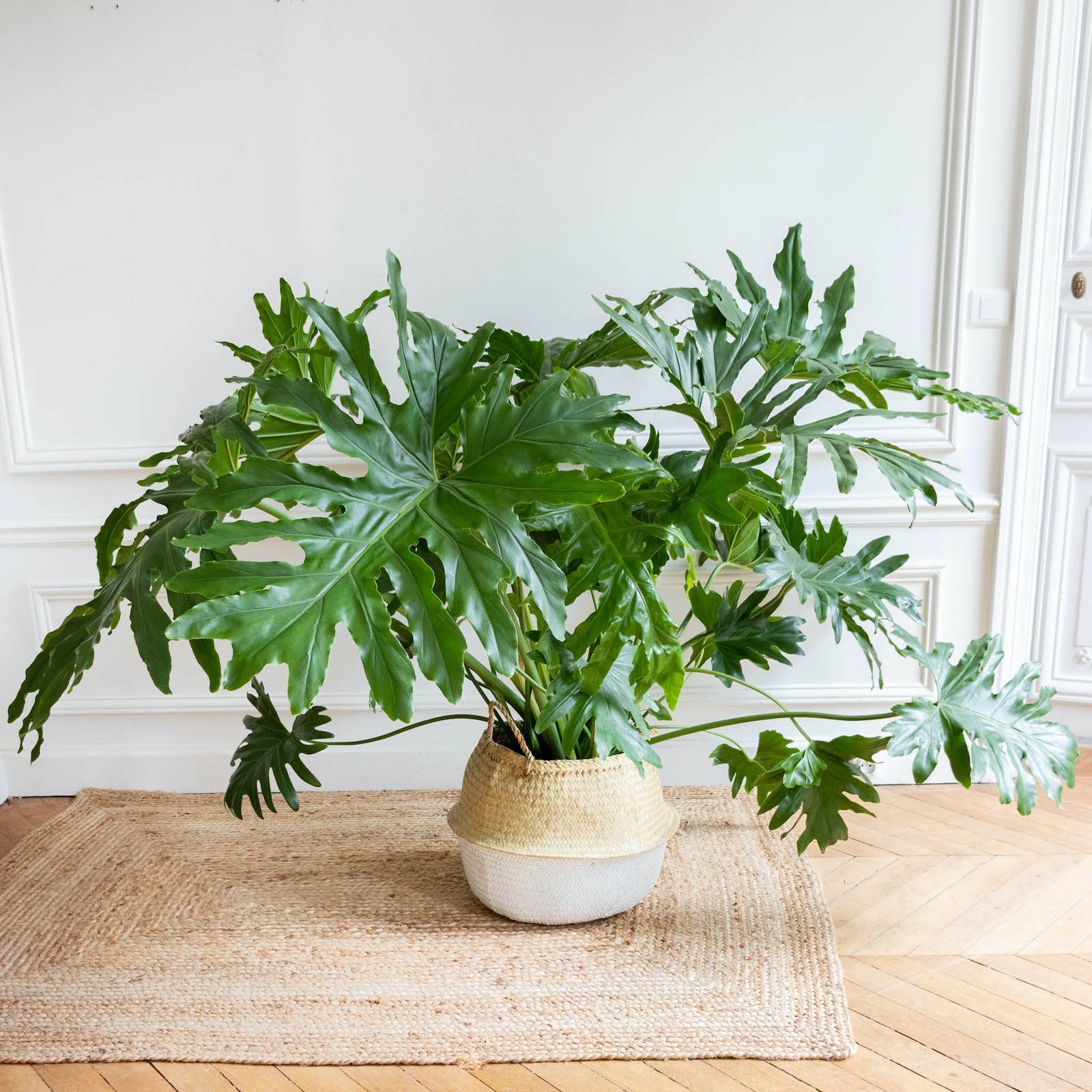 Philippe et son cache-pot - Philodendron selloum
