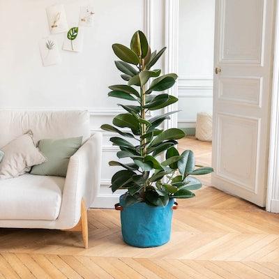 Fred - Ficus 'Robusta' et son cache-pot bleu
