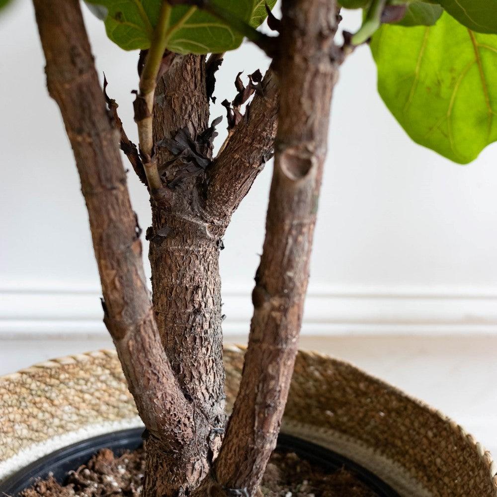 Owen - Zoom sur Ficus Lyrata