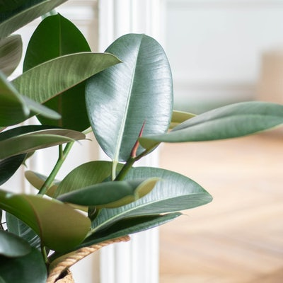 Fred - Zoom auf Ficus elastica 'Robusta'