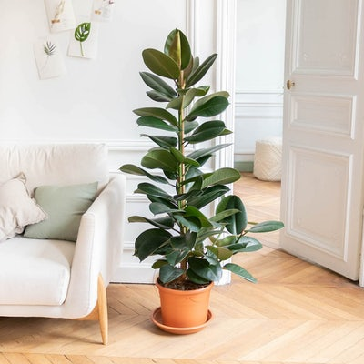 Fred - Ficus 'Robusta' sans cache-pot