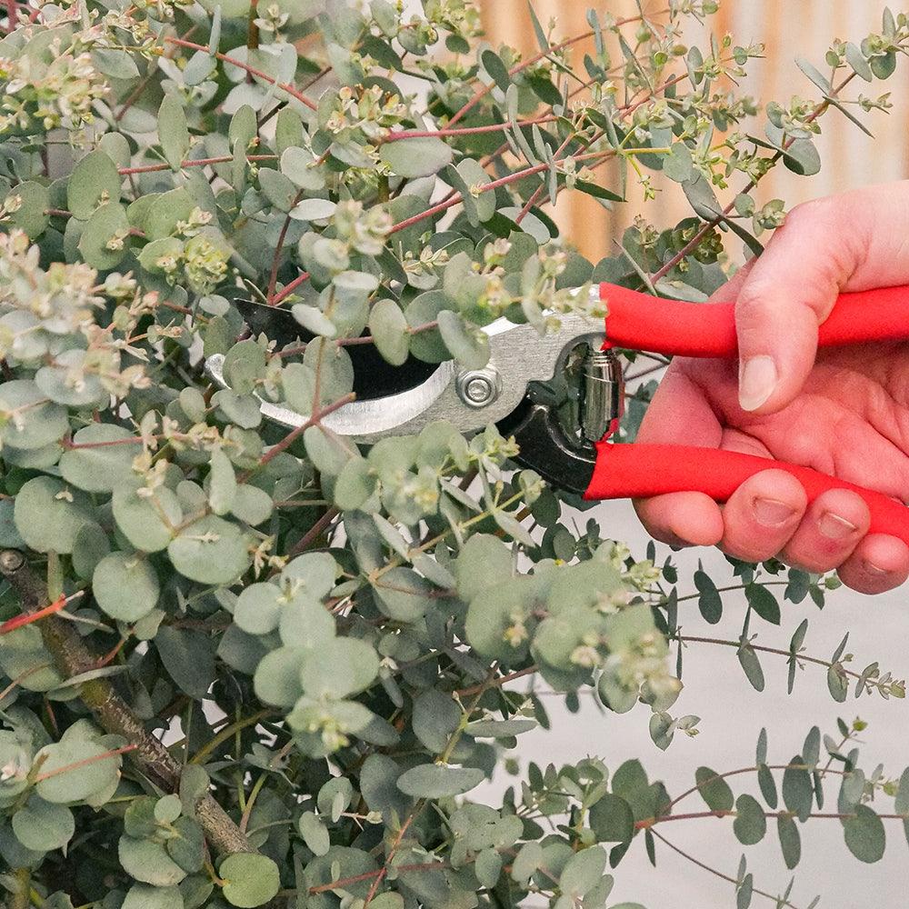 taille-eucalyptus