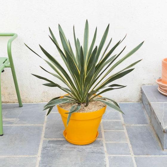 Malo et son port jaune - Yucca gloriosa
