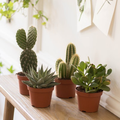 Oscar - Cactus sans cache-pots