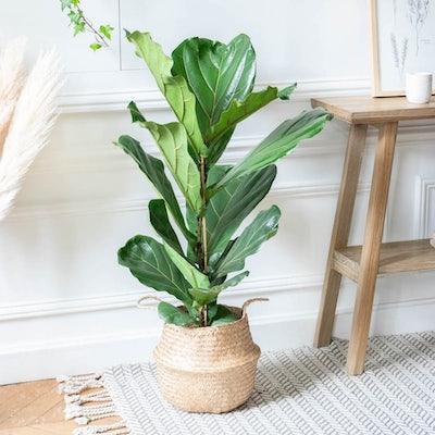 Léon et son cache-pot - Ficus lyrata