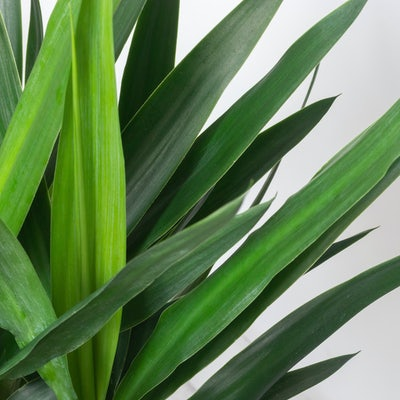 Palme Blüht Plötzlich
