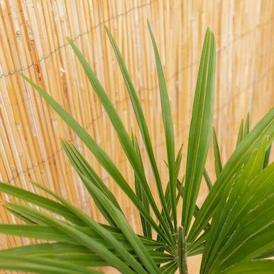 Gros plan sur Tancrède - Trachycarpus fortunei