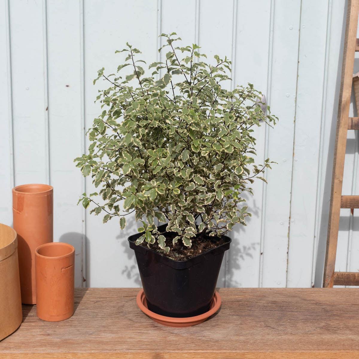 Pierre seul - Pittosporum tenuifolium