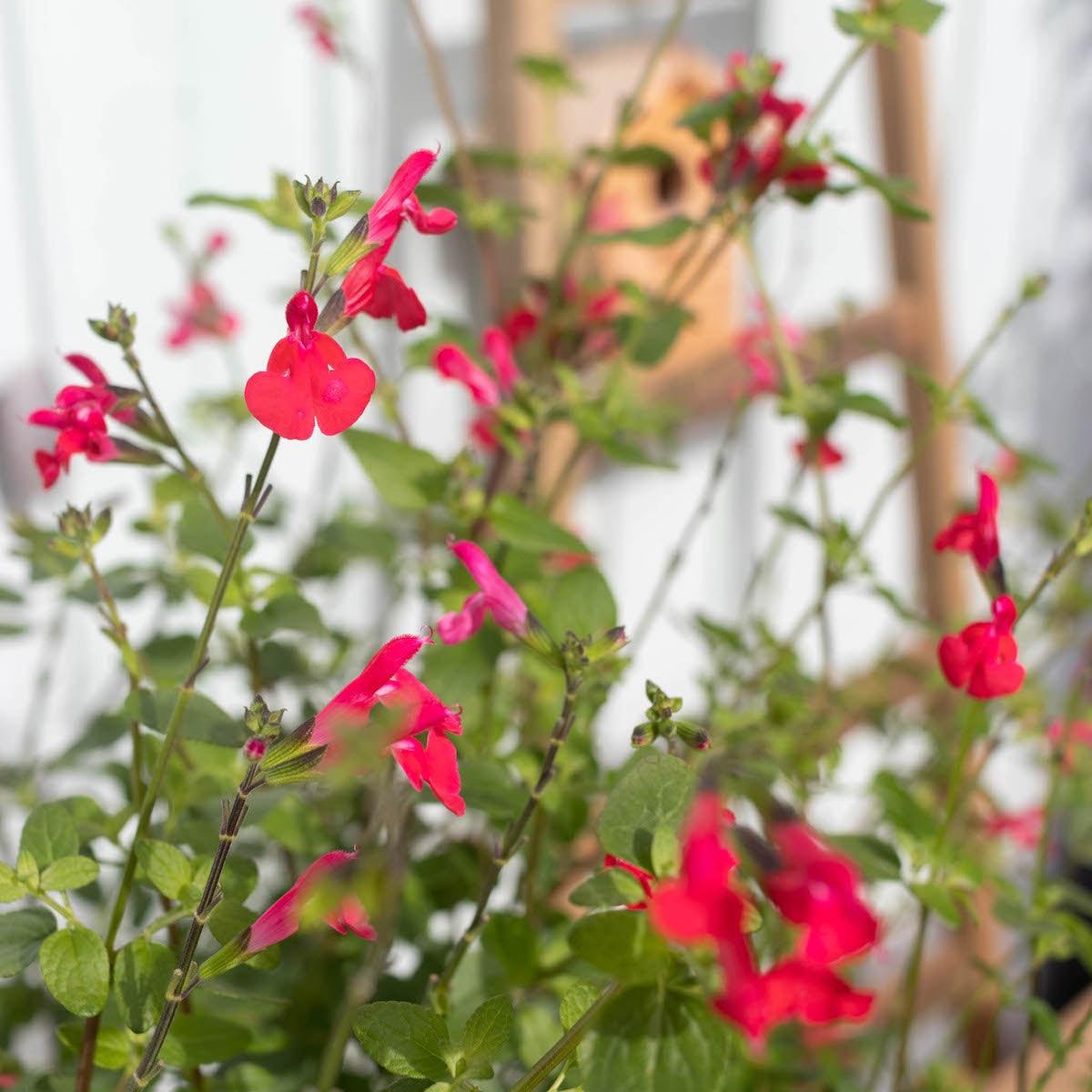 Zoom sur la floraison de Solange - Sauge arbustive