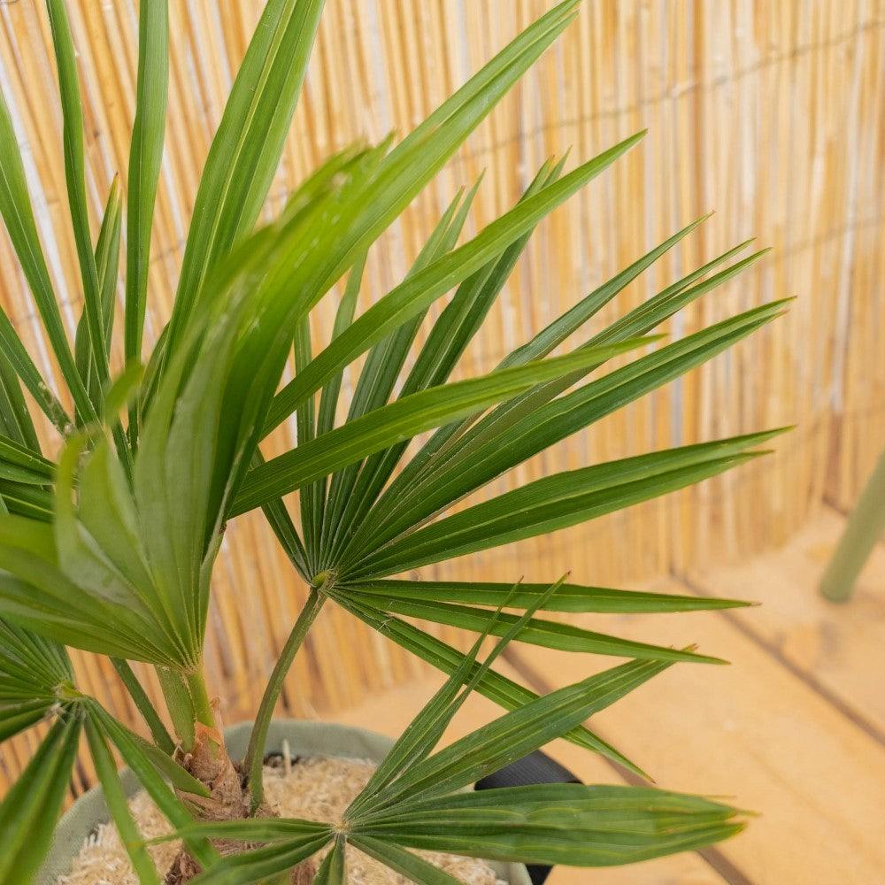 Nahaufnahme auf Tankred - Trachycarpus fortunei