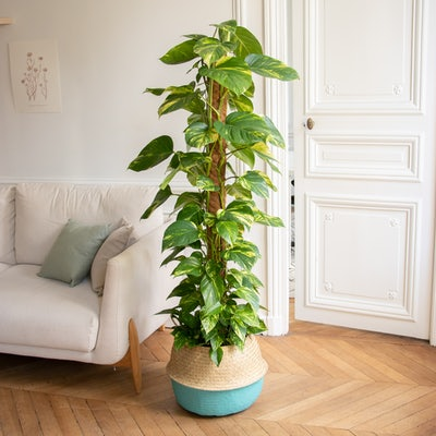 Colin & Übertopf (türkis) - Epipremnum pinnatum