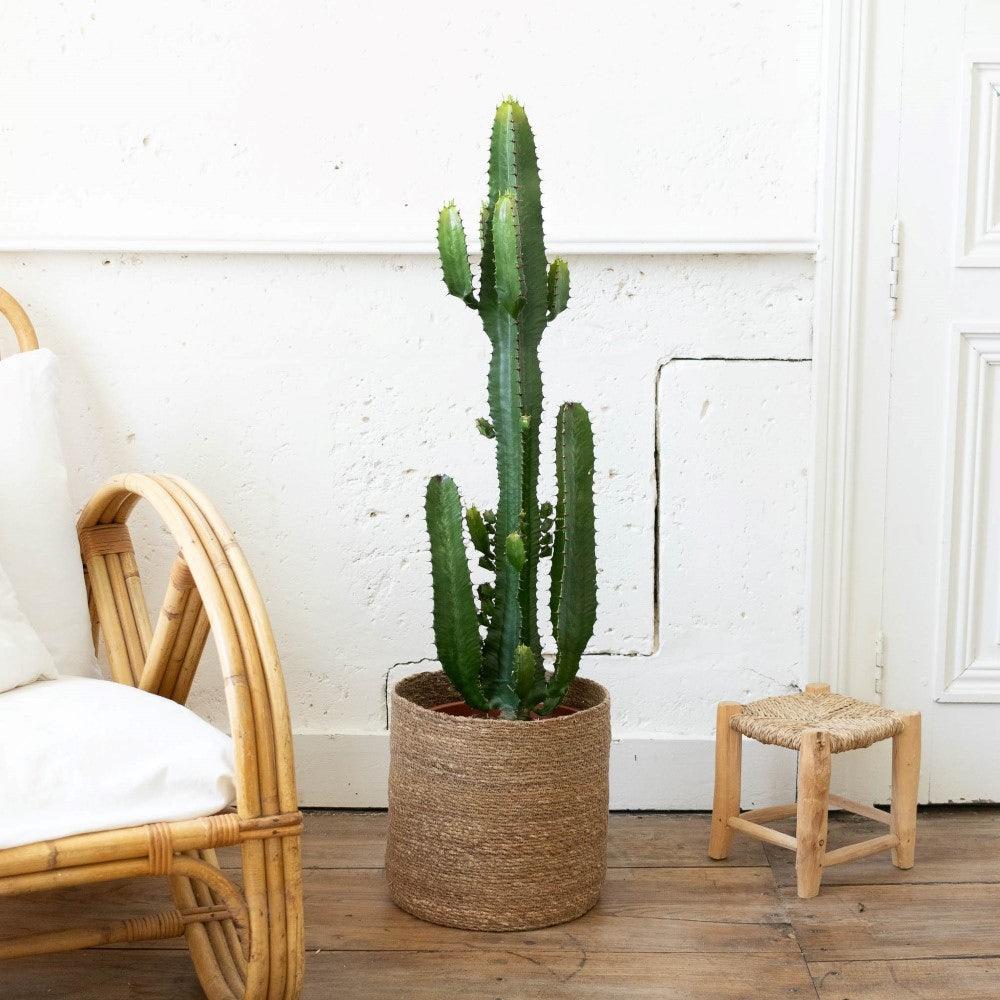"Unsere Euphorbia acrurensis ""Pablo"" mit Übertopf"
