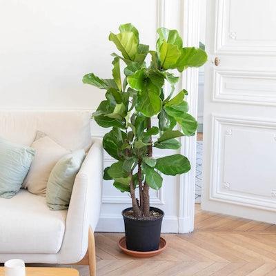 "Unsere Ficus lyrata ""Herbert"" ohne Übertopf"