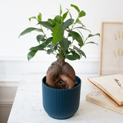 Jimmy & Übertopf (Blau) - Ficus retusa