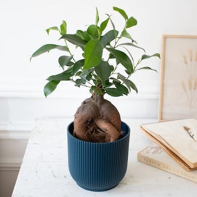 Jimmy et son cache-pot bleu - Ficus retusa