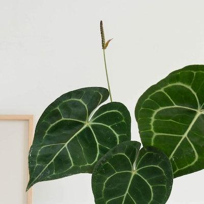 Gros plan sur Hildegarde - Anthurium clarinervium